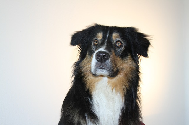 dog, australian shepherd, pet