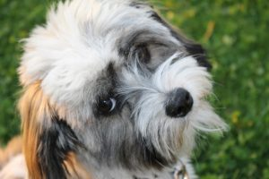 dog, havanese, good