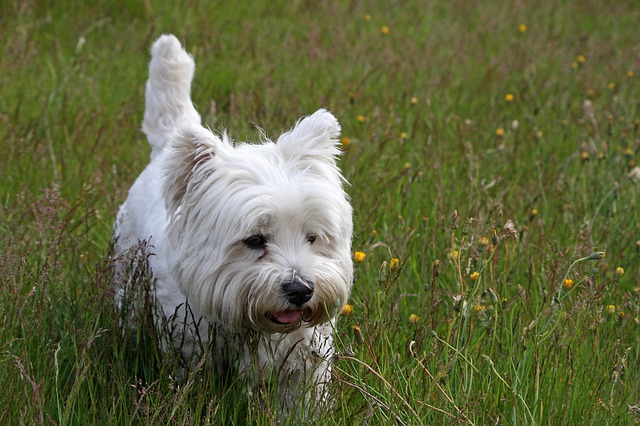 westie, dog, west highland white terrier