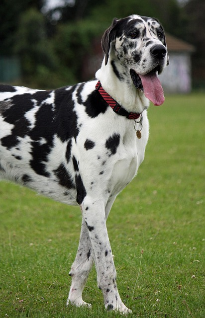 great dane, harlequin, dog