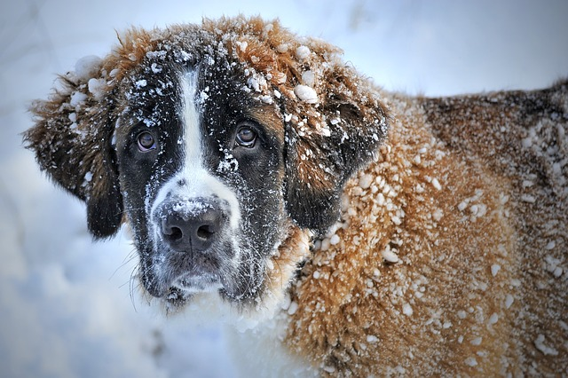 dog in the snow, snow dog, st bernard