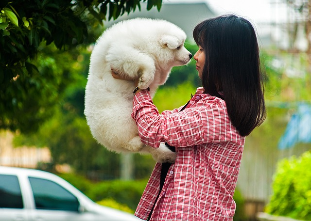 pets, dog, samoyed