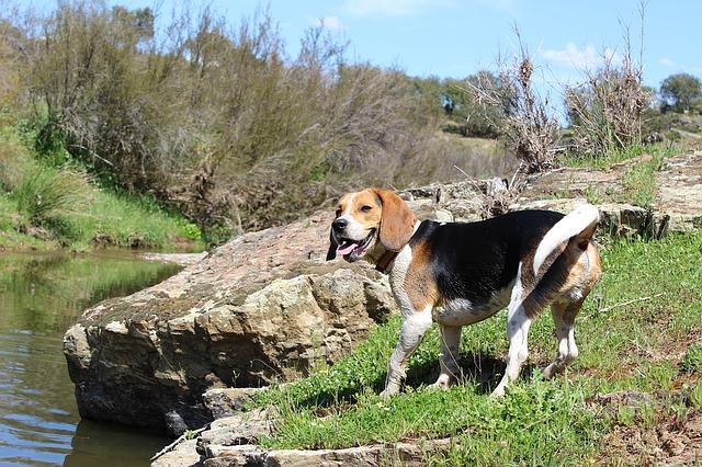 beagle, dog, nature