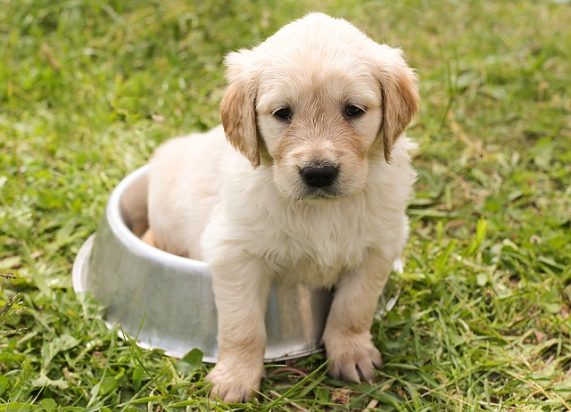 puppy, golden retriever, dog
