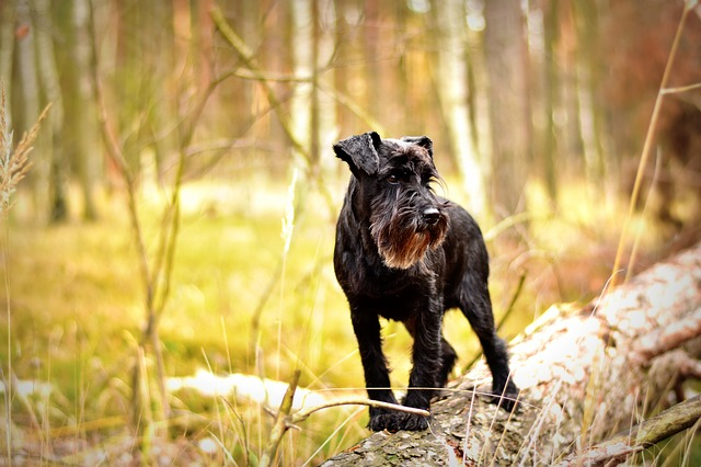 miniature schnauzer, dog, pet photography