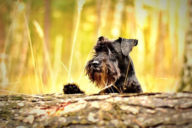 miniature schnauzer, black, dog