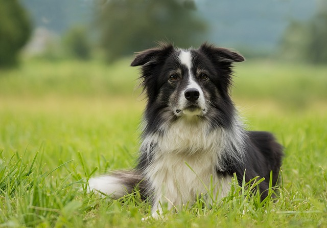 border collie, dog, collie