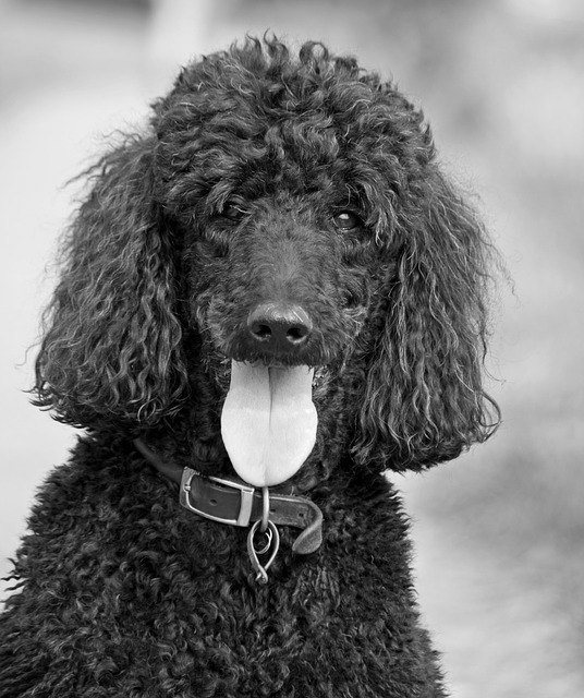 dog, poodle, beautiful