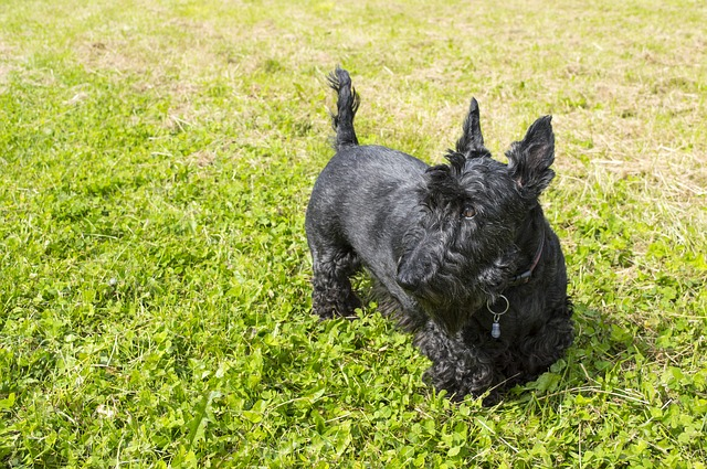 dog, terrier, scottish terrier