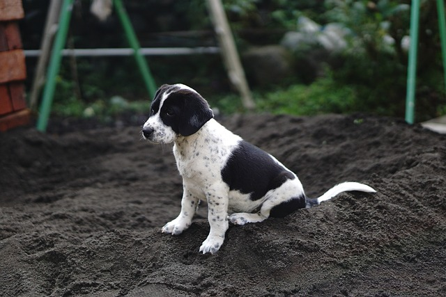 dog, beagle, puppy