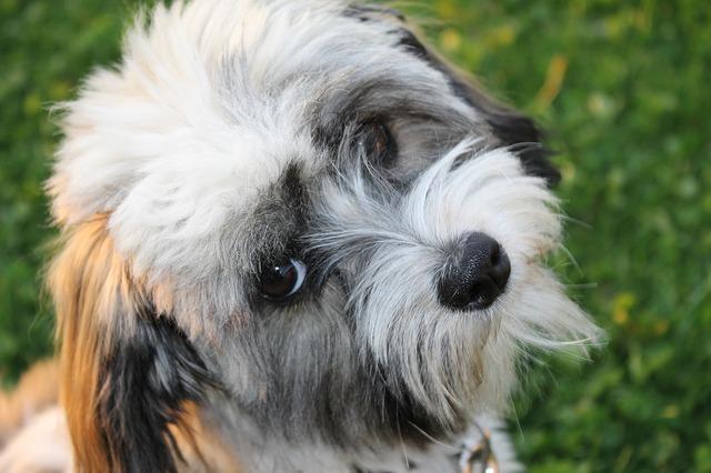 dog, havanese, good