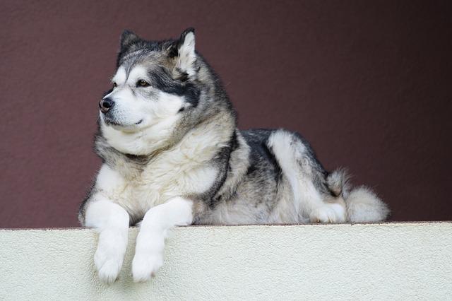alaskan-malamute, malamute, dog