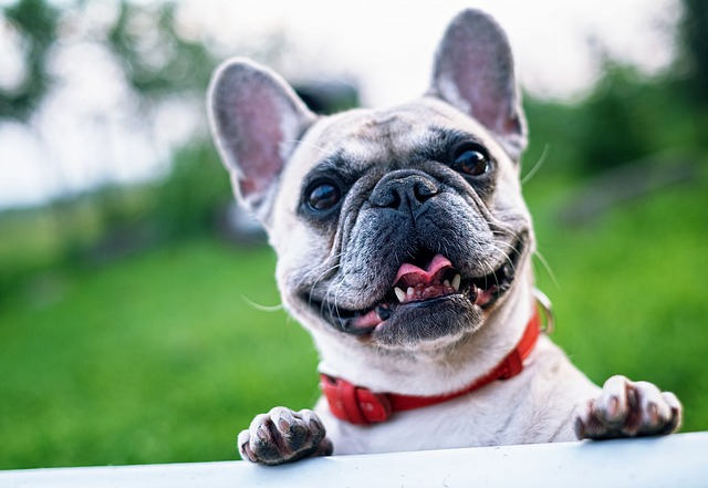 french bulldog, summer, smile