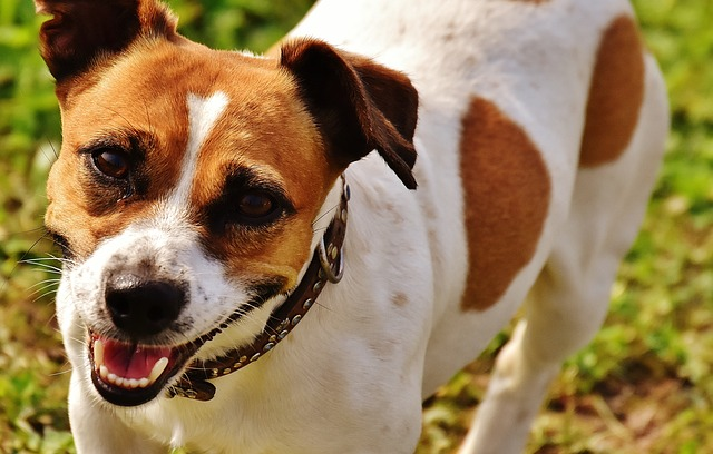 jack russell, terrier, play