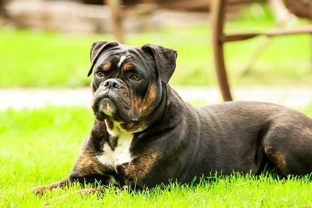 dog, dogs, bulldog