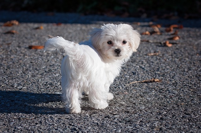 dog, maltese, white