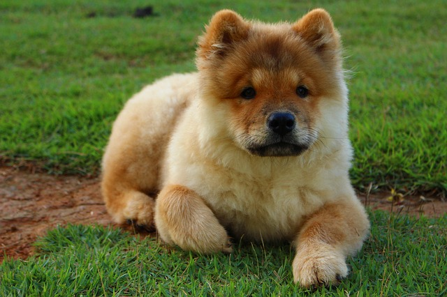 dog, animal, chow chow