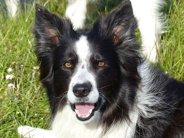 border collie, black white, dog