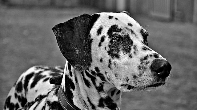 dogs, animals, dalmatian