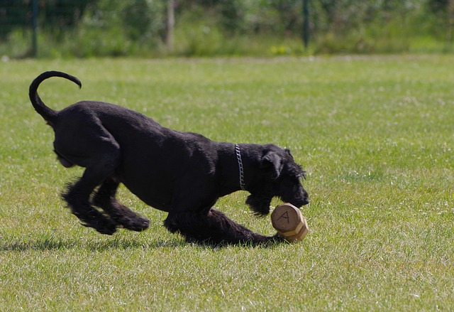 dumbbell retrieve, giant schnauzer, competition