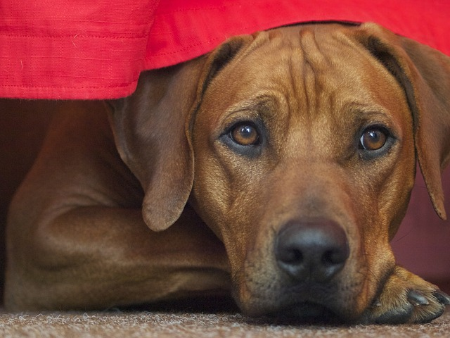 rhodesian ridgeback, dog, dog breed
