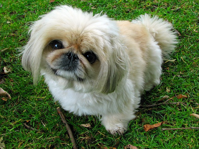 pekingese, dog, pet
