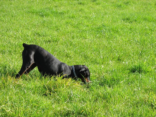 dog, doberman, meadow