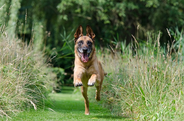 malinois, retrieve, dog training